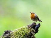 Robin — Stock Photo