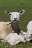 Dutch sheep — Stock Photo