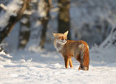 Fuchs im schnee — Stockfoto