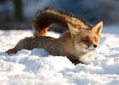 Im schnee — Stockfoto