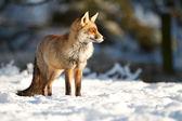 Stehend im schnee — Stockfoto