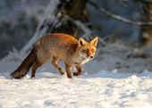 Fox running — Stock Photo