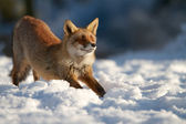 Stretching fox — Stock Photo