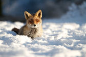 Fox in the snow — Stock Photo