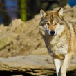 Stock Photo: Eastern Wolf or americgrey wolf (Canis lupus lycaon)