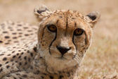 Hunting-leopard or cheetah (Acinonyx jubatus) — Stock Photo