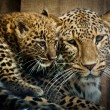 Persian Leopard (Panthera pardus ciscaucasica) - Stock Photo