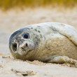 Grey seal (Halichoerus grypus) — Stock Photo #13545642