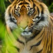 Sumatran tiger (Panthera tigris sumatrae) - Stock Photo