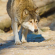 ������, ������: Eastern Wolf or american grey wolf Canis lupus lycaon