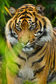 Sumatran tiger (Panthera tigris sumatrae) — Stock Photo