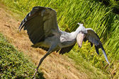 Shoebill, Abu Markub (Balaeniceps rex) — Stock Photo