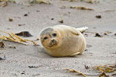 Harbor seal (Phoca vitulina vitulina) — Stock Photo