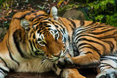 Tygrys syberyjski (Panthera tigris altaica) — Zdjęcie stockowe