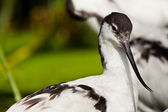 Pied Avocet  (Recurvirostra avosetta) — Stock Photo