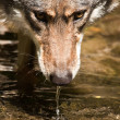 Gray wolf or grey wolf (Canis lupus) — Stock Photo