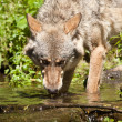 Gray wolf or grey wolf (Canis lupus) — Stock Photo #18426209