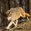 Eastern Wolf or american grey wolf (Canis lupus lycaon) - Stock Photo