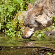 Gray wolf or grey wolf (Canis lupus) — Stock Photo #18426883