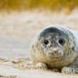 Grey seal (Halichoerus grypus) — Stock Photo #18427337