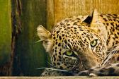 Персидский леопард (panthera опасные посты ciscaucasica) — Стоковое фото