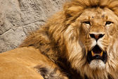 Lion (Panthera leo) — Foto de Stock