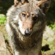 Stock Photo: Gray wolf or grey wolf (Canis lupus)