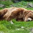 Kamchatka brown bear (Ursus arctos beringianus) — Stock Photo