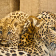 Persian Leopard (Panthera pardus ciscaucasica) — Stock Photo