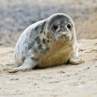 Grey seal (Halichoerus grypus) — 图库照片