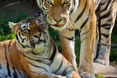 Siberian tiger (Panthera tigris altaica) — Stockfoto