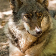 Gray wolf (Canis lupus) — Stock Photo #18530113