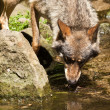 Gray wolf (Canis lupus) — Stock Photo #18530149