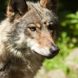 Gray wolf (Canis lupus) — Stock Photo #18530279