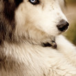 Stock Photo: Husky, SiberiHusky
