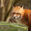 Red Fox (Vulpes vulpes) — Stock Photo #18531653