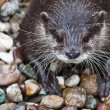 Oriental Small-clawed Otter (Aonyx cinerea) — Stock Photo