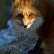 Red Fox (Vulpes vulpes) — Stock Photo #18532315