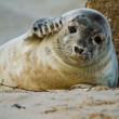 Stock Photo: Grey seal (Halichoerus grypus)