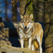 Eastern Wolf or american grey wolf (Canis lupus lycaon) — Stock Photo #18533609