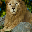 Transvaal lion (Panthera leo krugeri) - Stock Photo