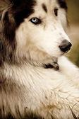 Husky, Siberian Husky — Stock Photo