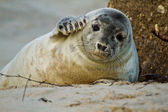 Grey seal (Halichoerus grypus) — Foto de Stock
