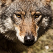 Gray wolf (Canis lupus) — Stock Photo #18621225