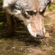 Stock Photo: Gray wolf (Canis lupus)