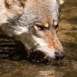 Gray wolf (Canis lupus) — Stock Photo #18621585