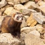 Ferret (Mustela putorius furo) — Stock Photo #18624713