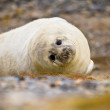 Stock Photo: Young Grey seal (Halichoerus grypus)
