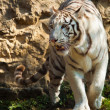White Bengal tiger (Panthera tigris tigris) — Stock Photo