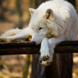 Stock Photo: Arctic wolf (Canis lupus arctos)